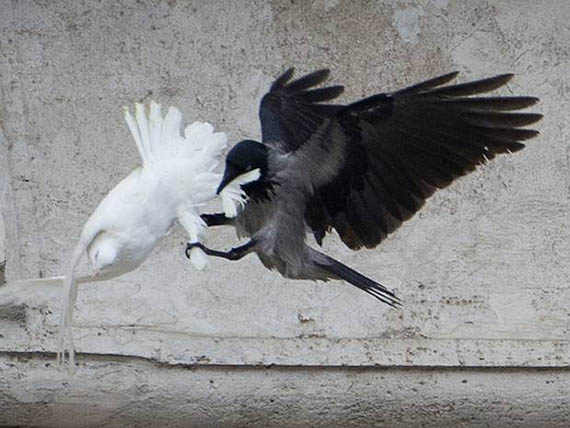 cuervo atacando paloma