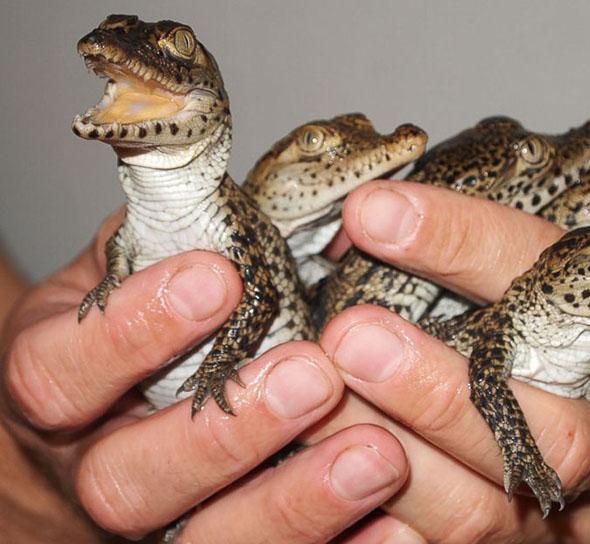 La diferencia entre las patas de los cocodrilos bebe y las improntas en roca son evidentes
